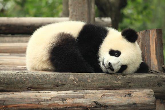 panda_cute