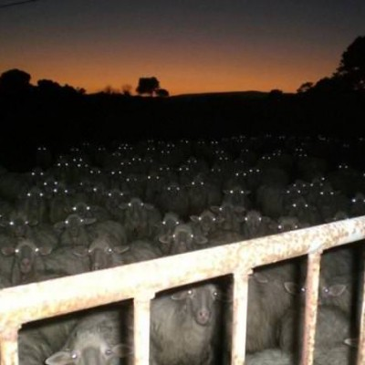furious-sheep.jpg