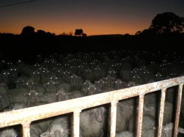 ヤギの大群怖すぎ!