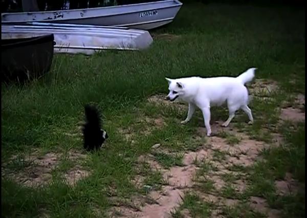 Dog Versus skunk