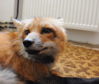 crying-fox.png