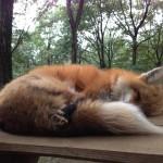fox-holding-its-tail.jpg