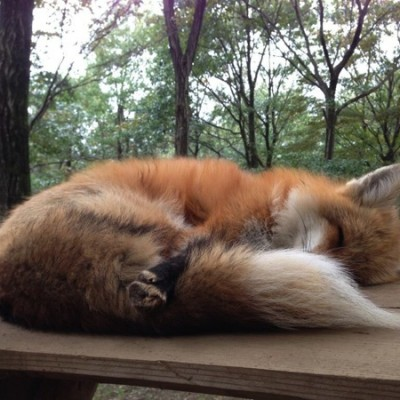 fox-holding-its-tail.jpg
