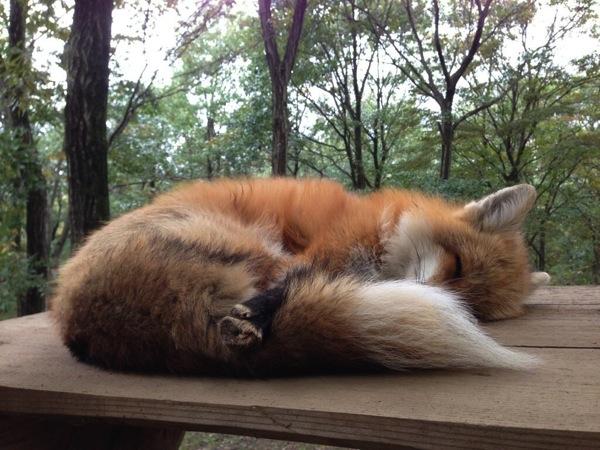 自分の尻尾を抱いて寝るキツネ