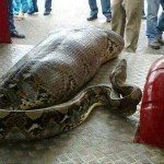 python-eats-human.jpg