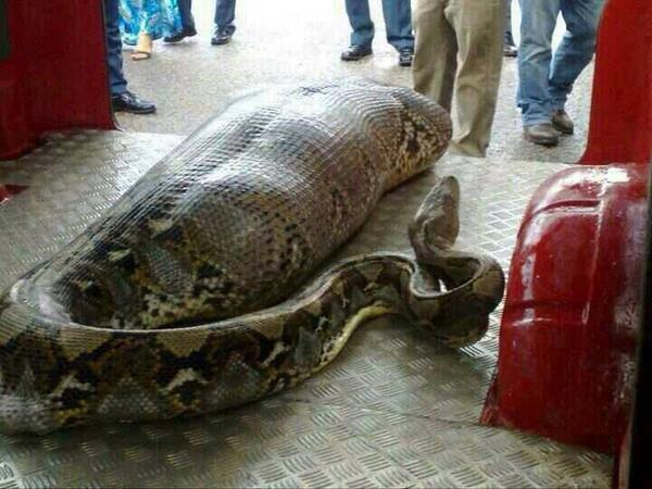 Python eats human