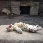 sleeping-tiger.jpg