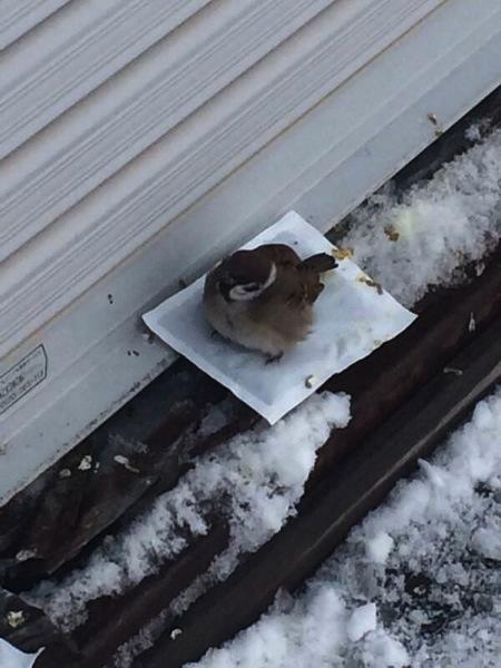 sparrow-getting-warmth.jpg