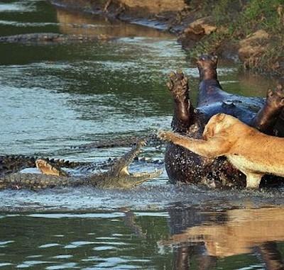 lioness-vs-crocodile-pics-1.jpg