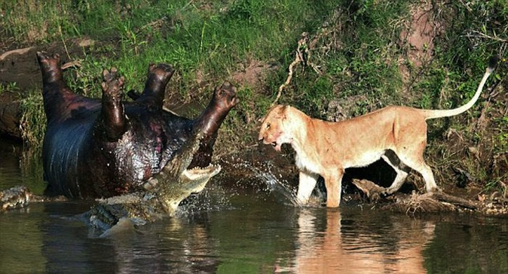死んだカバを争う雌ライオンVSワニ