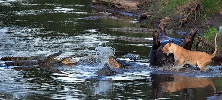Lioness v死んだカバを争う雌ライオンVSワニs crocodile pics 3
