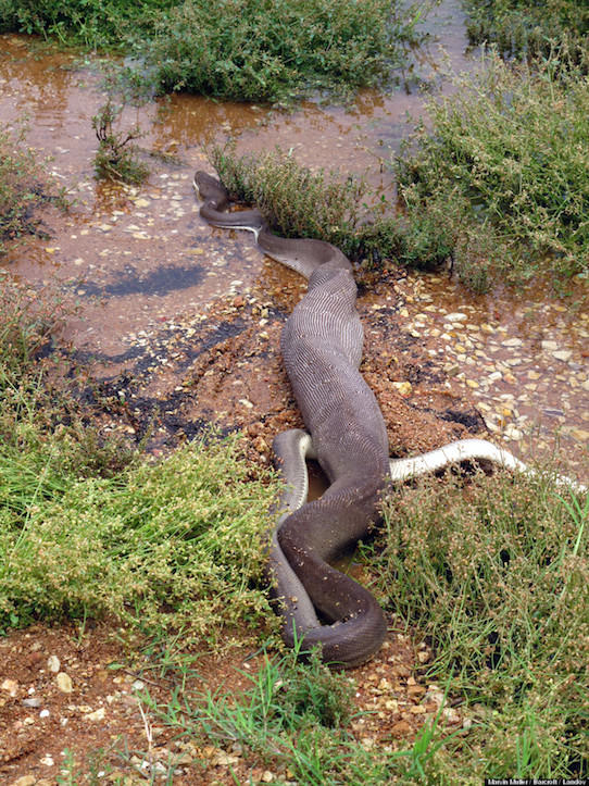 python-eats-crocodile-3.jpg