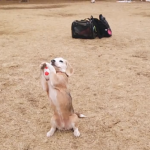 beagle-catches-ball.png