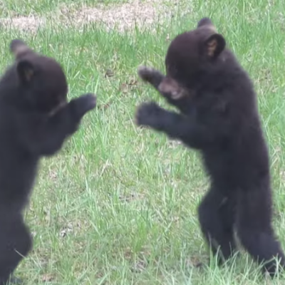 bear-cubs-fighting-1.png