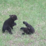 bear-cubs-fighting-2.png