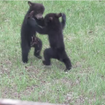 bear-cubs-fighting-3.png