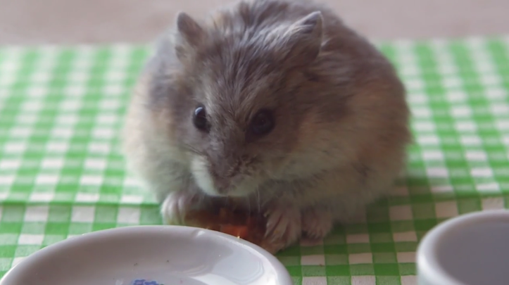 Hamster eating pizza