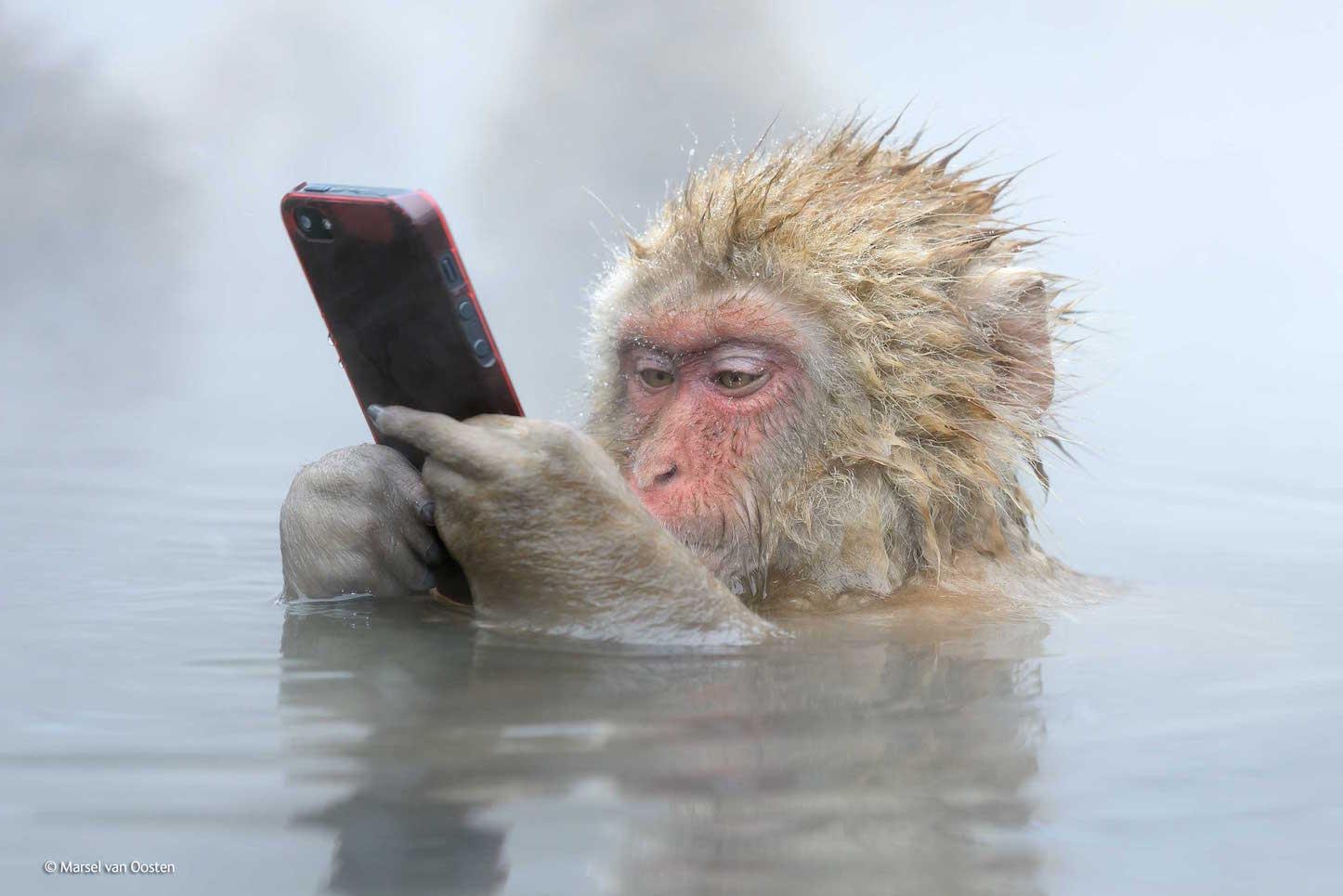 Japanese monkey using iphone