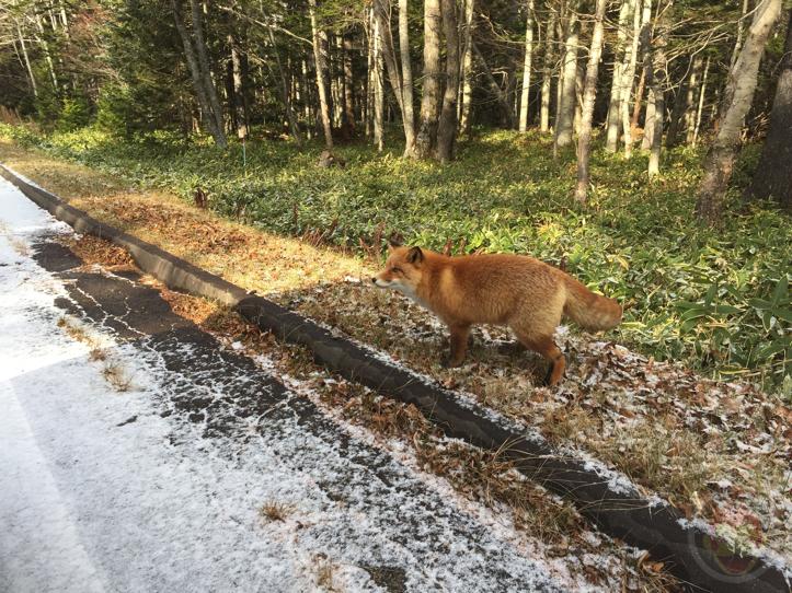 wild-fox-2.jpg