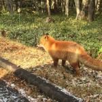 wild-fox-3.jpg