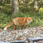 wild-fox-5.jpg