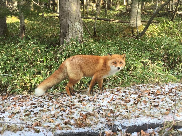 野生のキツネ in 北海道