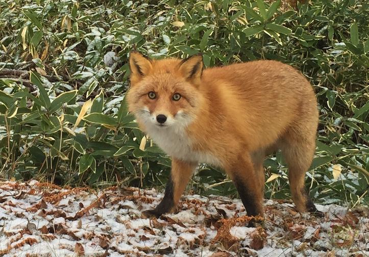wild-fox-looking-at-me-1.jpg