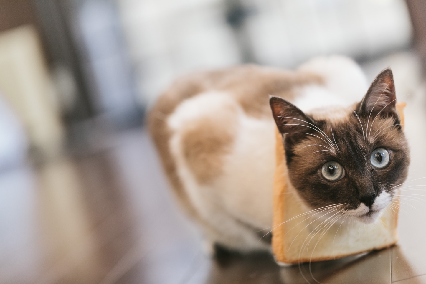 Crown Cat 猫のフリー写真素材 from ぱくたそ