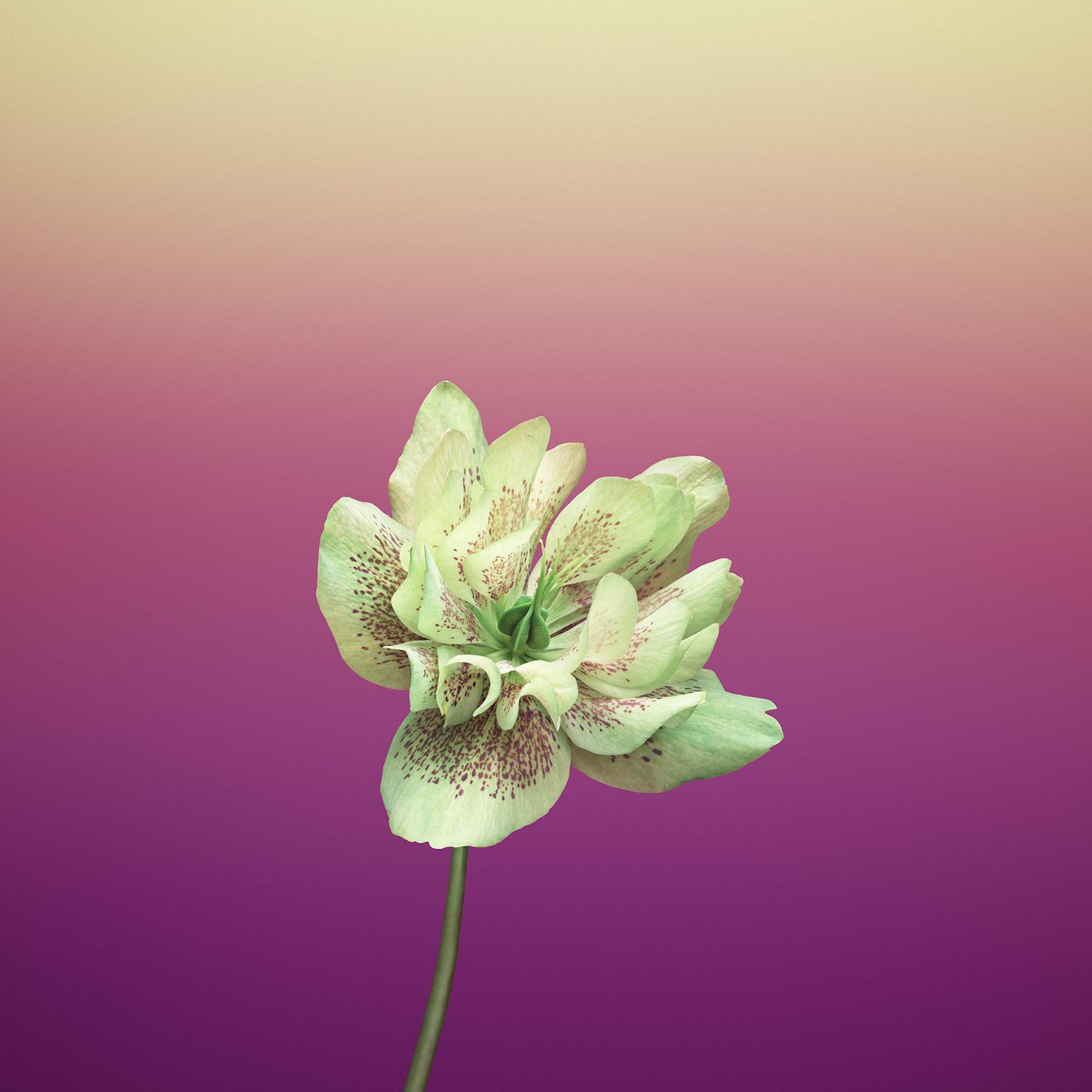 iOS_11_GM_Wallpaper_Flower_HELLEBORUS