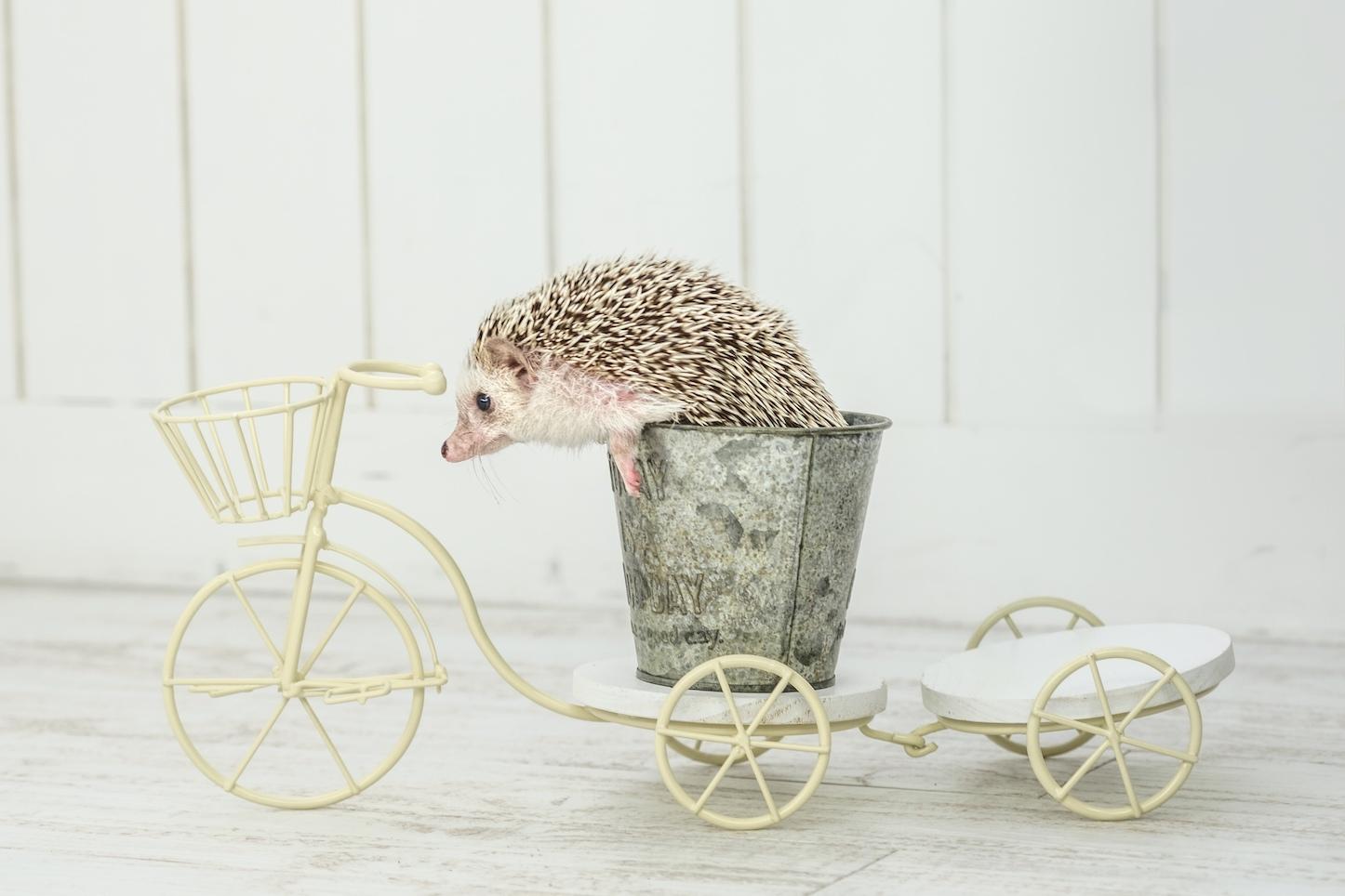 ハリネズミのフリー写真素材(ぱくたそ)
