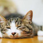 sleepy-cat-pakutaso