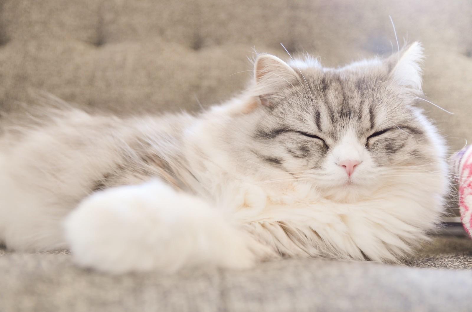 HIR93_sofa-deneteiruneko_TP_V-sleeping-cat.jpg